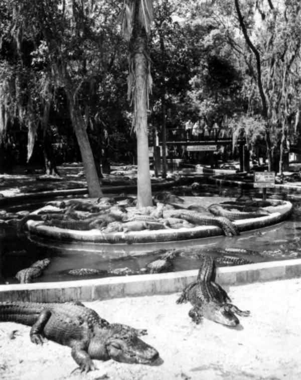 Alligators In A Pond