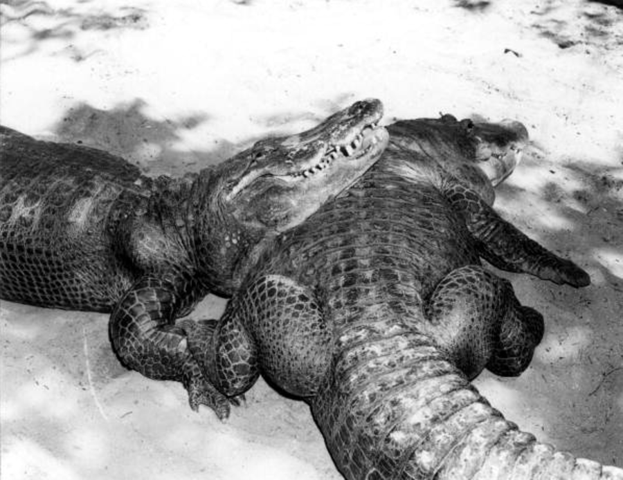 Alligators Sunbathing In The Sun