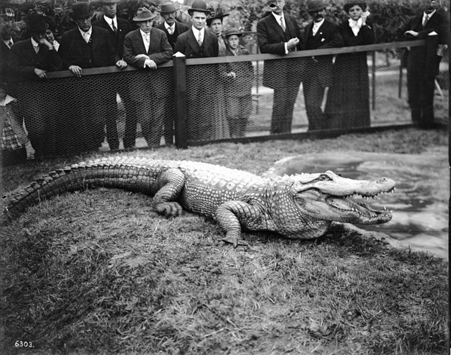 Crowd Watching An Alligator