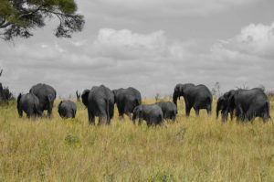 Elephants 511250_1280