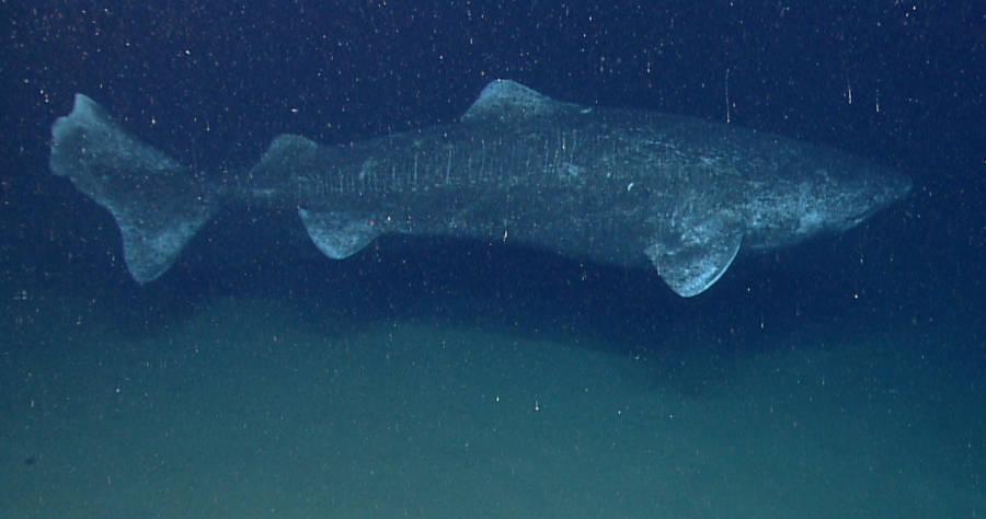 Greenland Shark 2