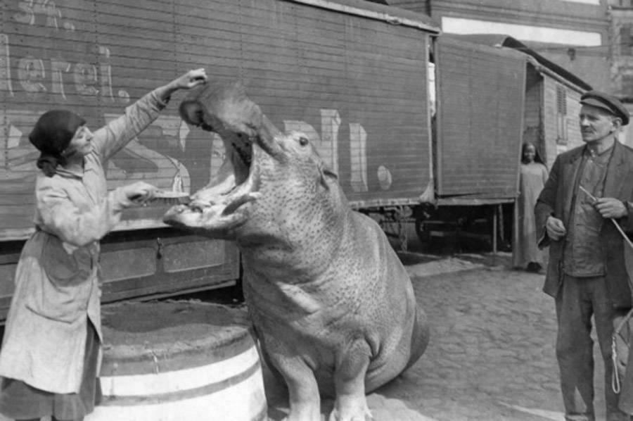 Hippo Teeth