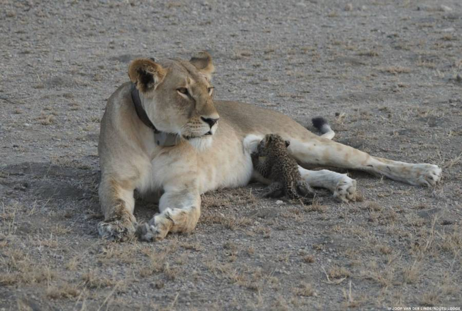Leopard Cub Nursing Lion