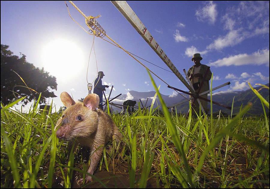 Miner Rat