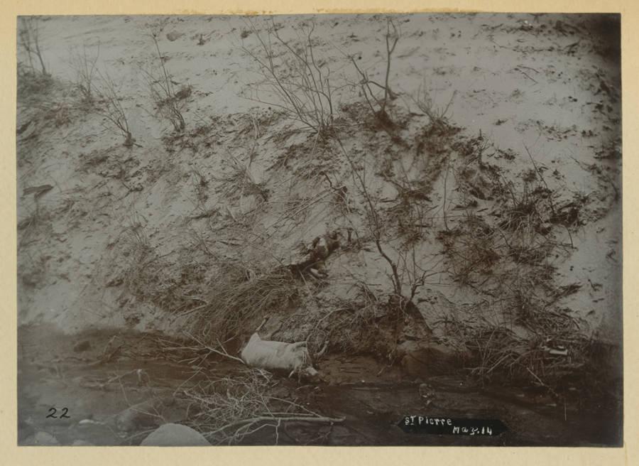 Mt Pelee Dead Animals