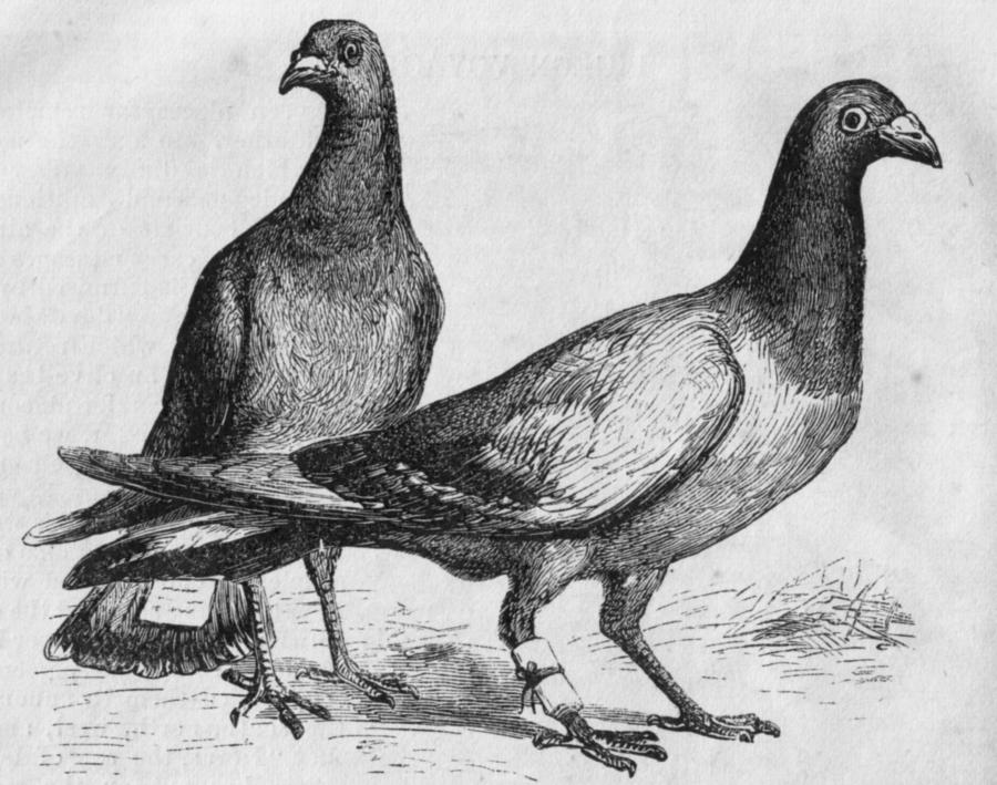 Pigeons Tesla Sketch