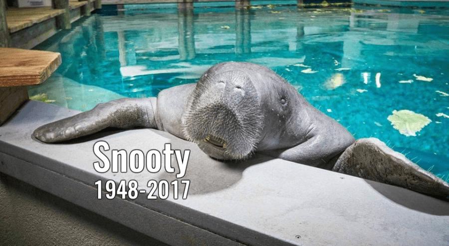 Snooty Manatee