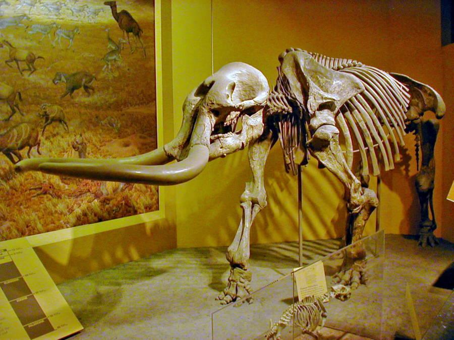 Stegomastodon Skeleton