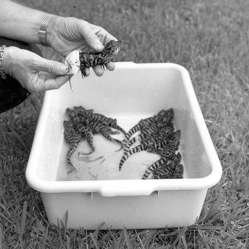 Tiny Gators In A Box
