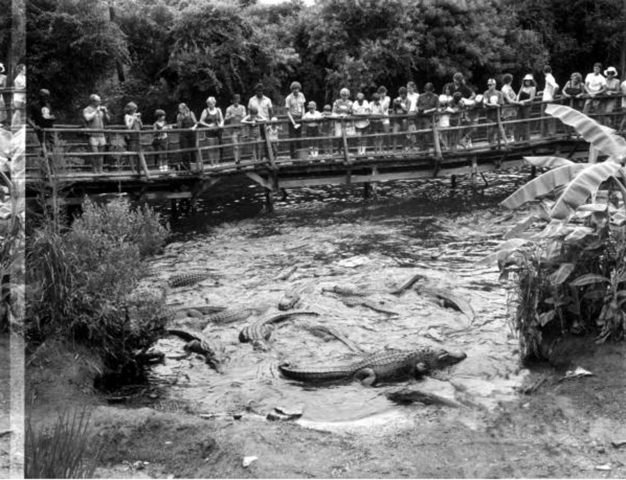Tourist Group Looking At Alligators