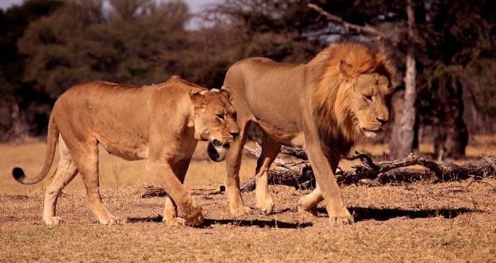 Xanda The Lion