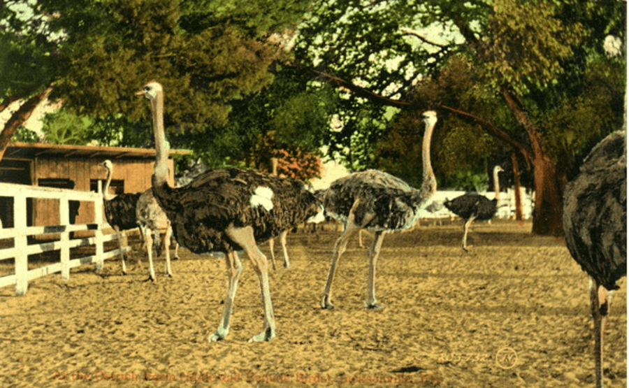 A Group Of Ostriches