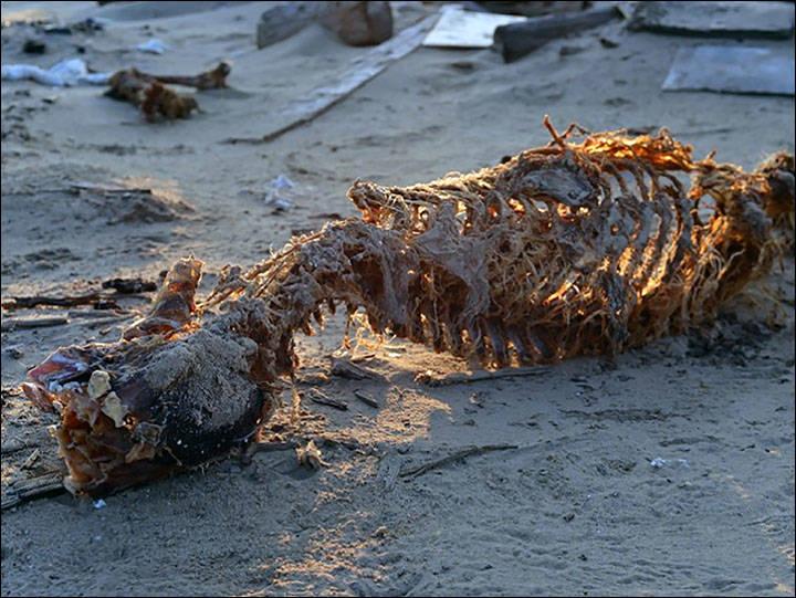 Bear Carcass
