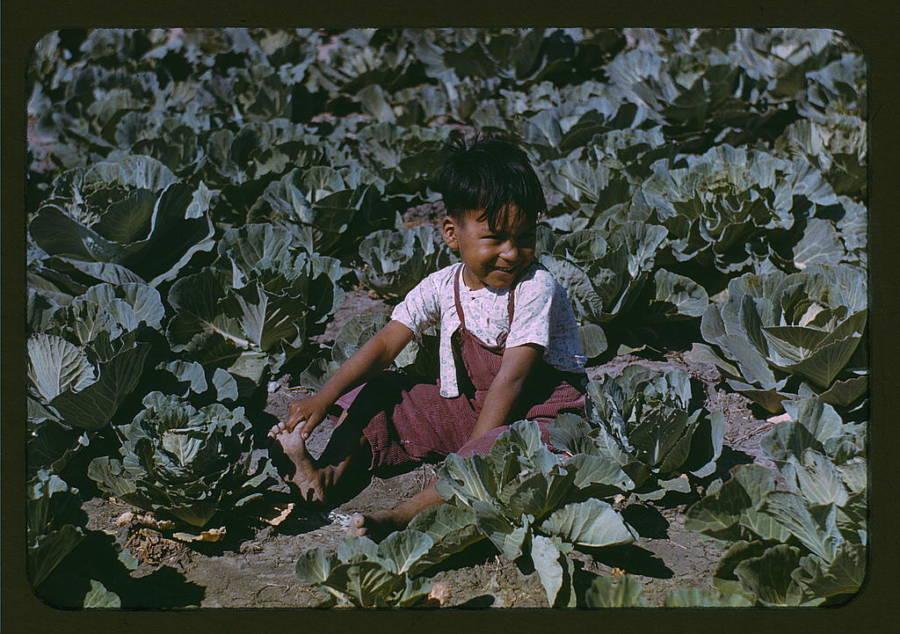 Boy In Cabbage Crop