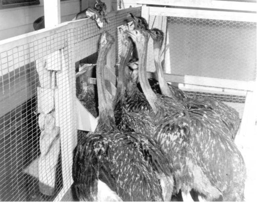 Feeding Baby Ostriches