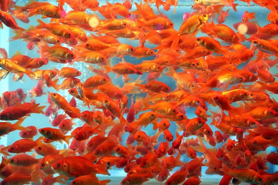 Goldfish Alcohol