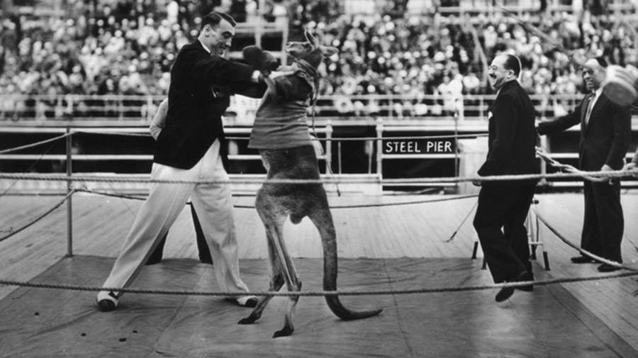 Kangaroo Boxing Primo Carnera
