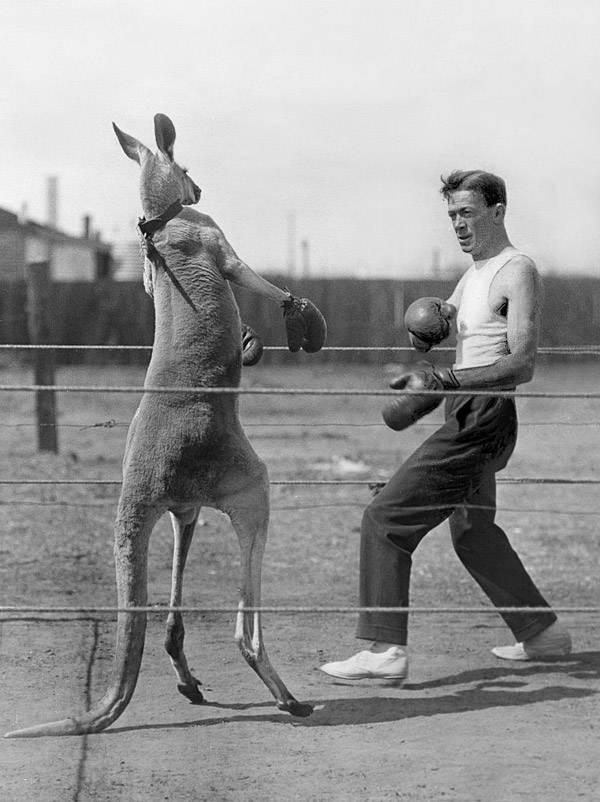 Kangaroo Opponent