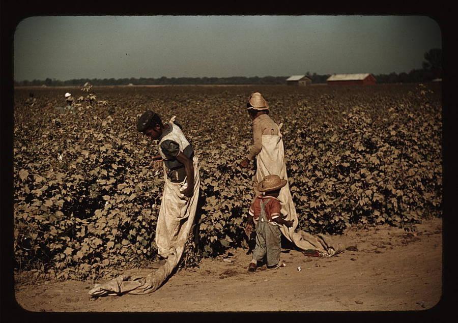 Little Boy Picking Cotton