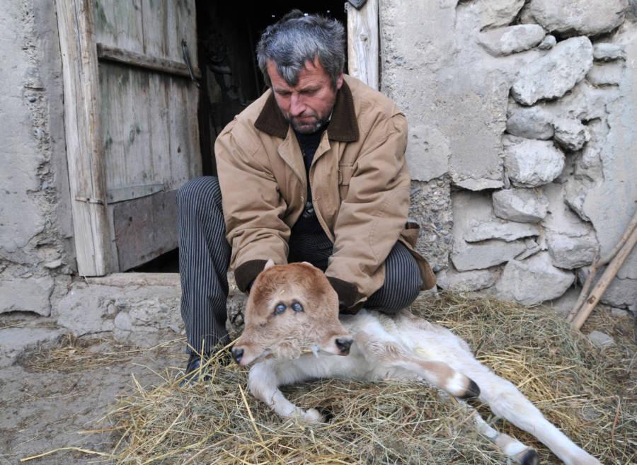 Man Holding Calf