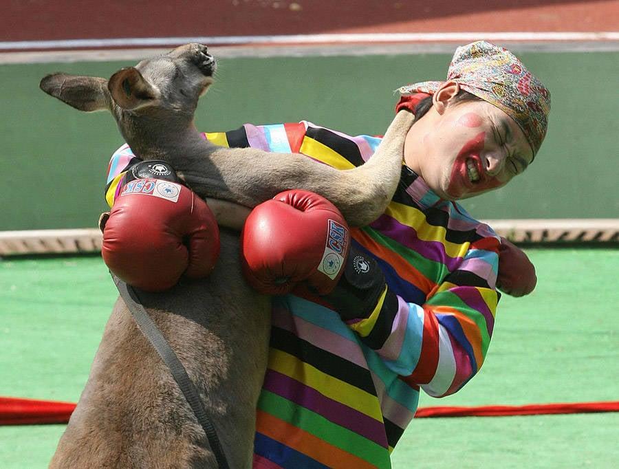 Modern Boxer