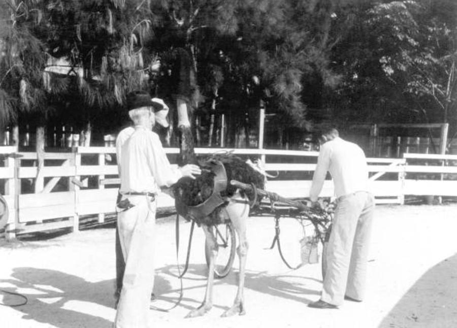 Mounting An Ostrich