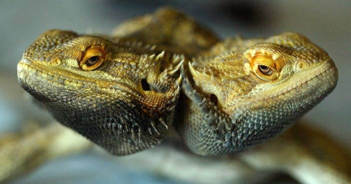 16 Real Photos Of Polycephaly And Two-Headed Animals