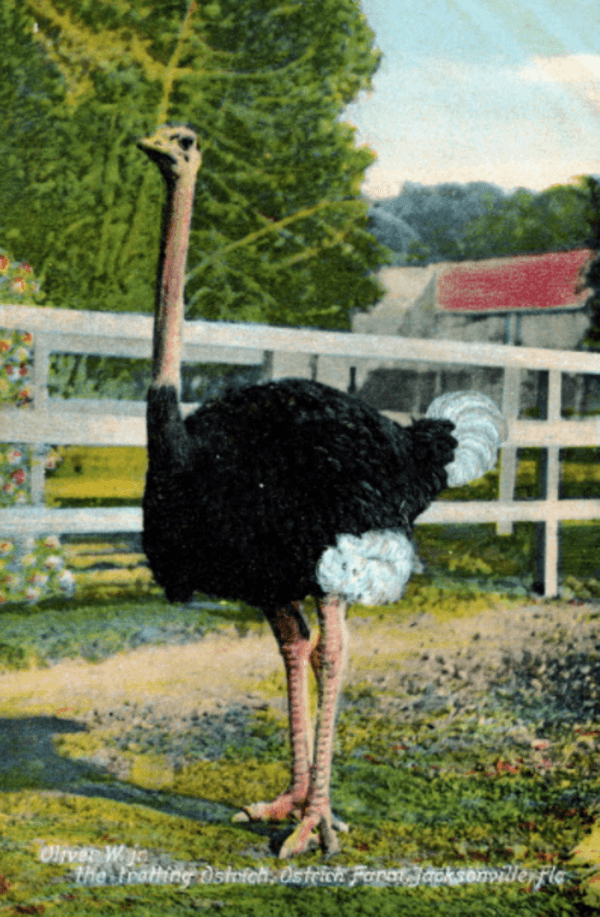 Ostrich Racing Trotting