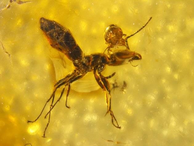 Parasite Ant
