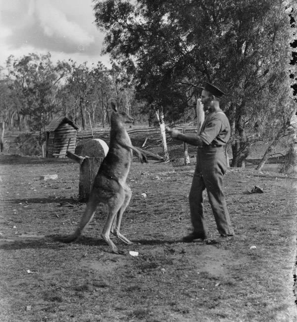 Queensland Boxer