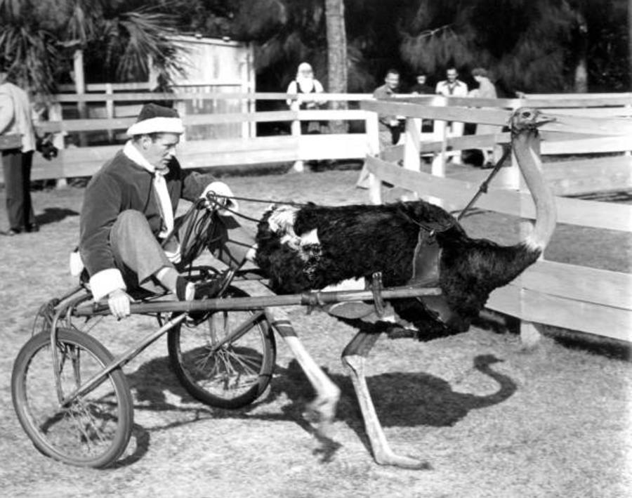 Santa Claus Ostrich