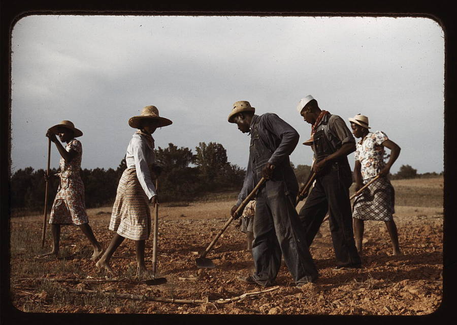 Sharecroppers Chopping Cotton