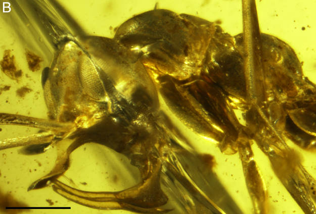Amber Ant Face