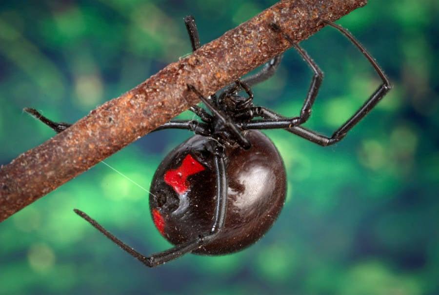 Black Widow on a tree