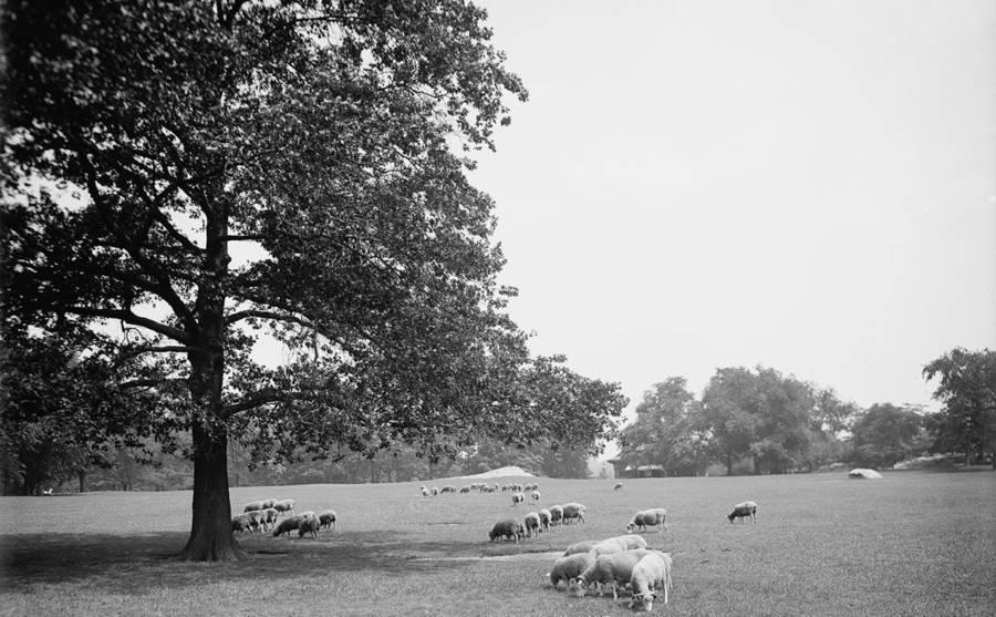 Central Park Sheep