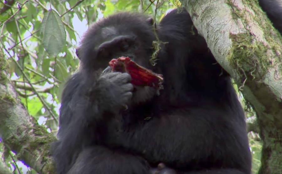 Chimp eating meat