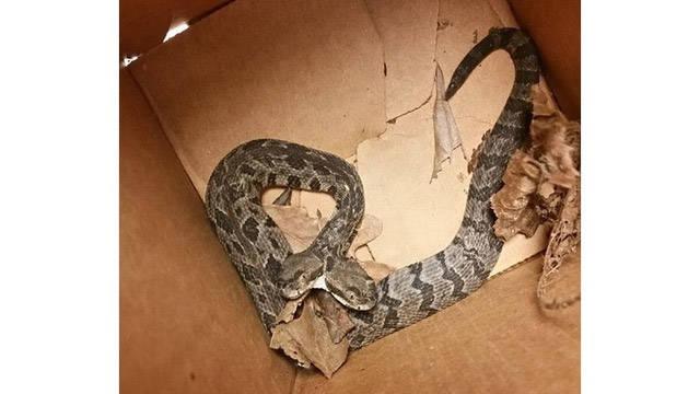 Deuce The Snake