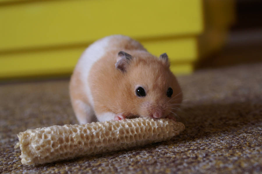 Hamster eating corn Cannibal Animals