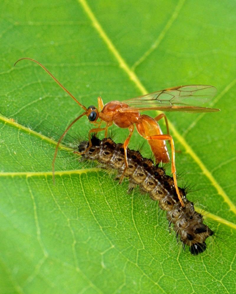 Parasitic Wasp eating a caterpillar