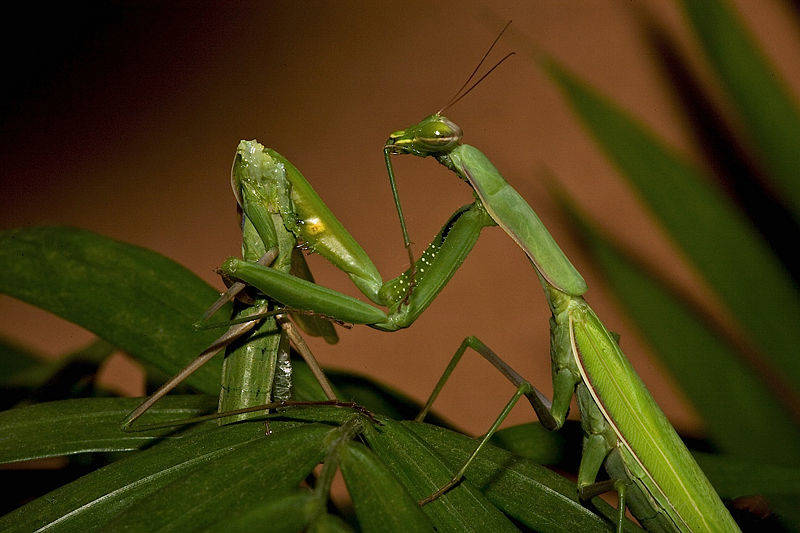Praying mantis eating another praying mantis