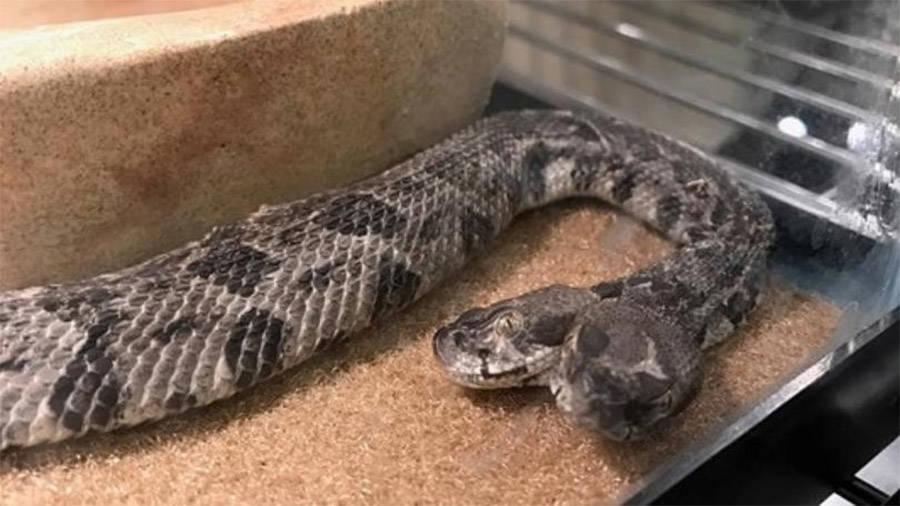 Rattlesnake Two Heads