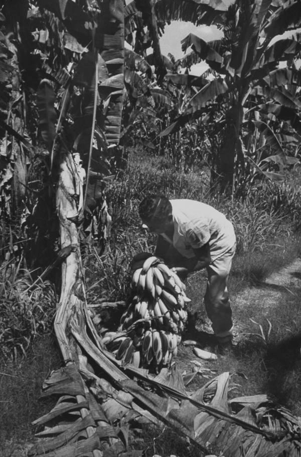 Rotting Banana Tree
