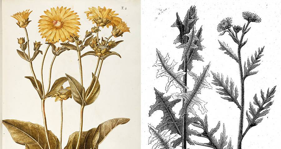 Renderings of the silphium plant