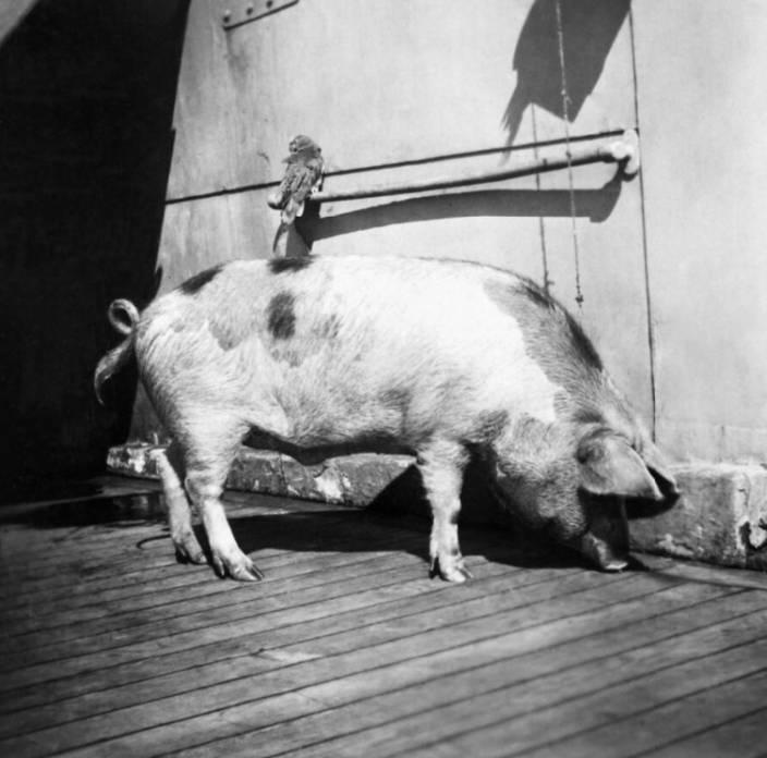 Tirpitz The Pig WW2 Mascot