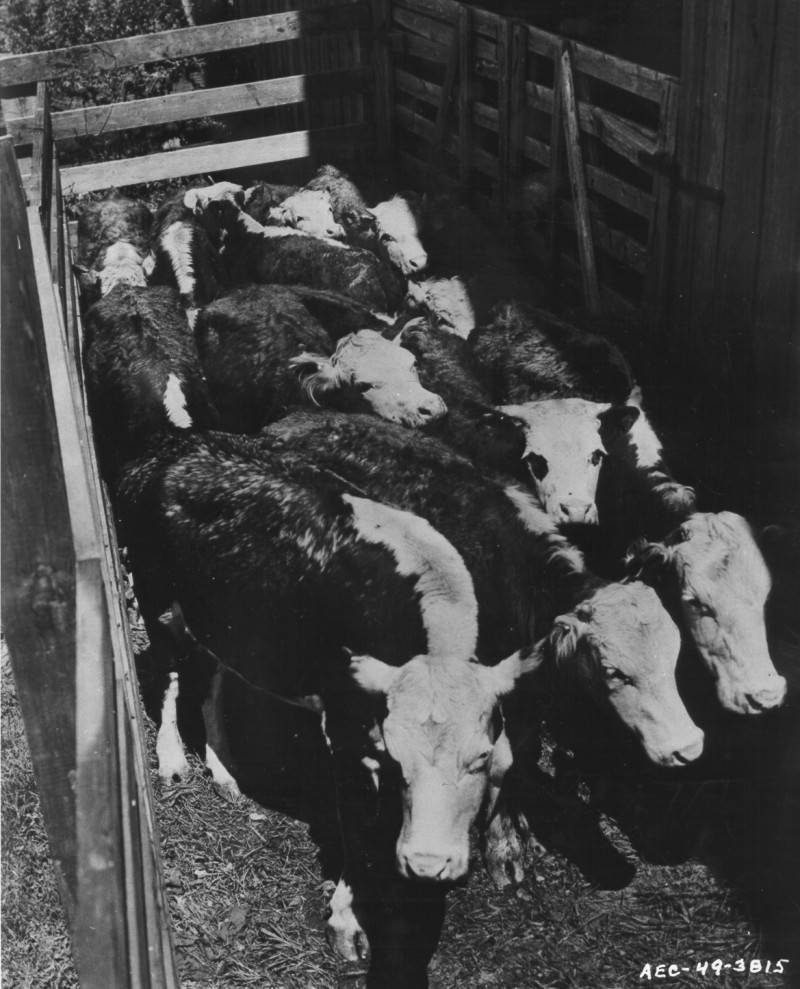 Cattle Exposed To Radiation