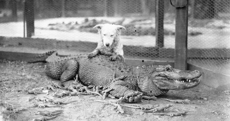 Dog Gator