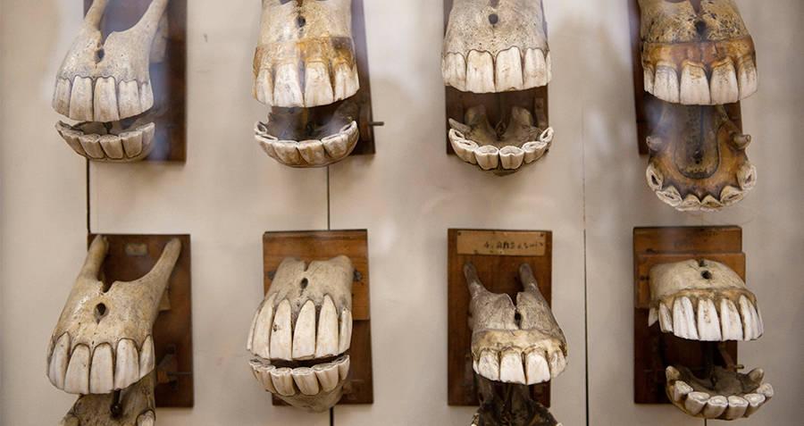 Musee Fragonard horse teeth