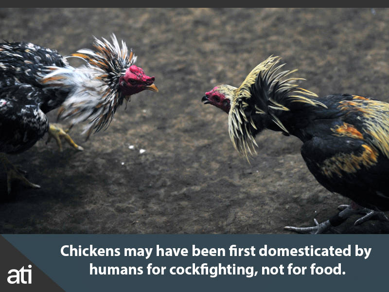 Interesting History Facts Domestication Of Chickens