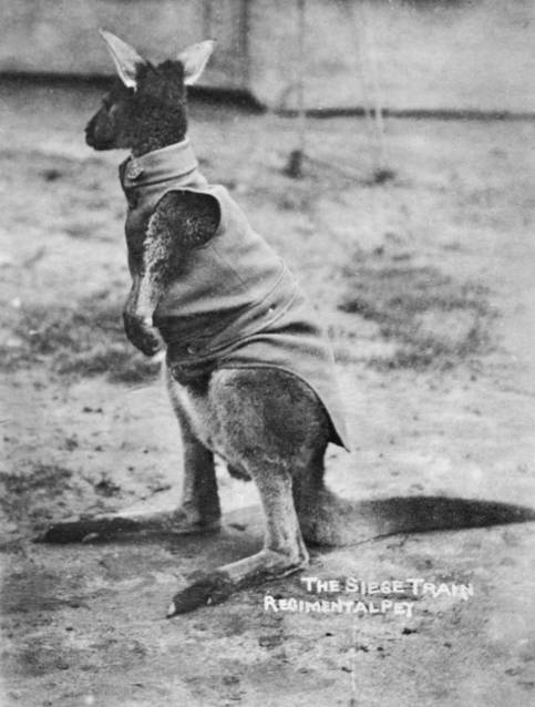 Kangaroo Of The Siege Brigade