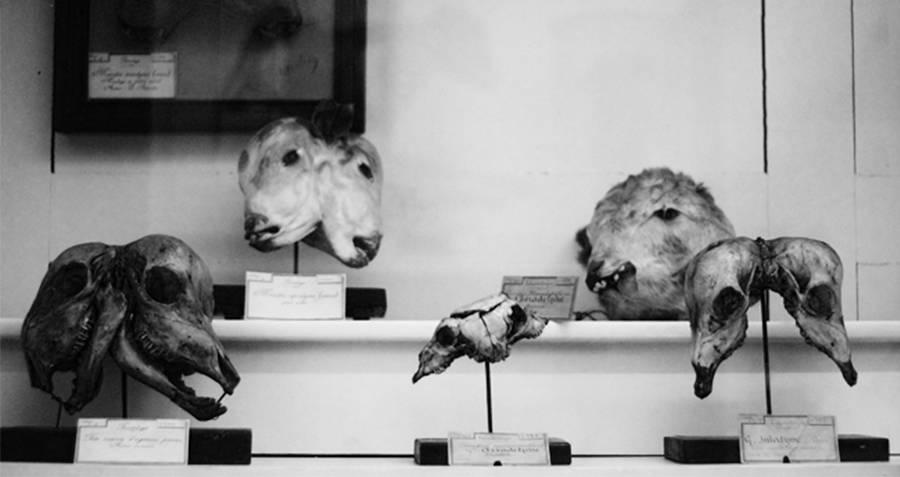 Musee Fragonard two headed skulls